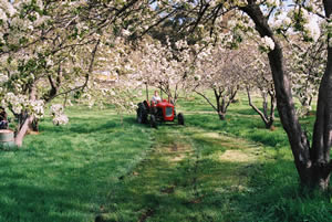 tractor in pear orchard